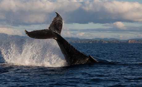 A migrating humpback
