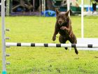MOVING ON: Clarence Dog Sports is taking its dog agility and show training to the Alumy Creek Reserve after seven years at the Grafton Greyhound Track.