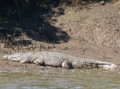 THE Mary River's most famous resident has made an appearance, spotted sunbathing on the muddy riverbank.