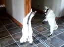 Baby goat fights reflection