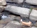 Dog plays river fetch alone