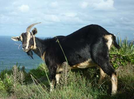 Wategoat, the last of the goat herd that lived on Cape Byron's, has not been seen for six weeks and authorities believe she may have died.