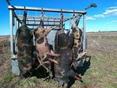 FERAL pigs are wreaking havoc on western Queensland as dry conditions force the thriving populations closer to farms.