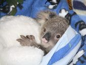 Baby koala Lexus cuddles up in bed. Photo Contributed.