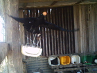 A hidden camera caught this crow in the act of stealing eggs from an Allora chook yard.