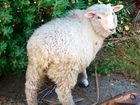 "TWO ""sick-minded"" Dunedin teenagers have been jailed for stealing a pet lamb and beating it to death while high on a hallucinogenic drug."