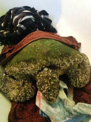 The sick green turtle in Tim Jack Adams bath. The turtle, dubbed Molly, may have ingested plastic.
