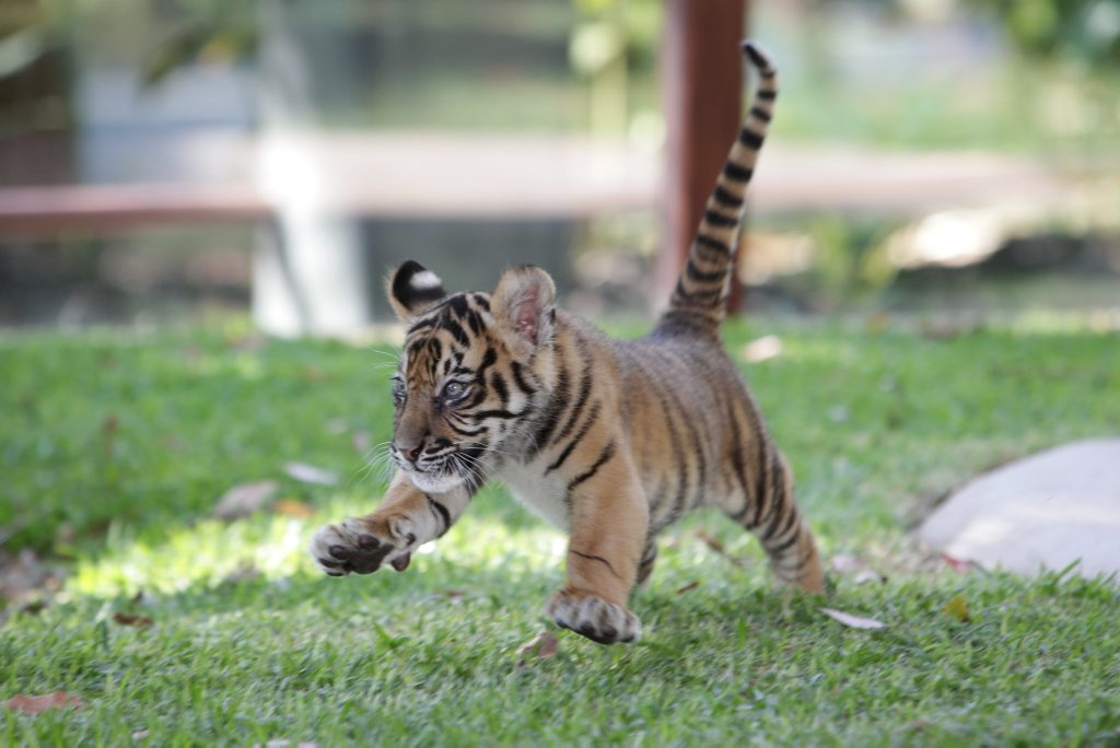 buy ativan australia zoo tigers