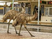 EMUS take to the streets of Longreach in search of food and water, oblivious to the fact they don't really belong there.