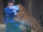 THE Australia Zoo tiger which attacked his handler may have mistaken him for one of his favourite toys because he was not wearing his usual khaki clothing.