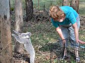 ANOTHER precious koala has experienced the blessing of Paula and David Rowlands.