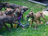 PLAY TIME: Maggie's Rescue is looking for homes for 17 Australian great shepford puppies.