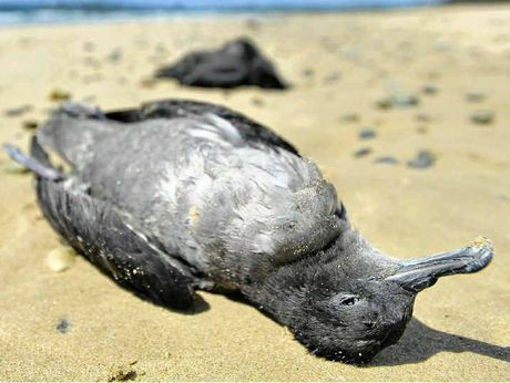 TOO MANY DEAD: A mutton bird washed ashore
