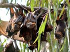 TROUBLESOME flying fox colonies across the Toowoomba region could finally get their marching orders after councils got new powers to deal with the bats.