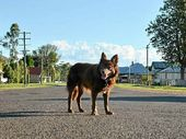A HITCH-HIKING, West Australian Kelpie, Red Dog, made his mark on the big screen, but at Leyburn there's an ageing canine with a story to rival the box office hit.
