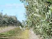 FALSE PROMISES: A failed olive grove investment scheme at Inglewood is under investigation.