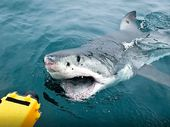 THE Queensland Government's shark control program has captured 29 animals over two metres long off Sunshine Coast beaches this year, including a 4.72-metre tiger shark.