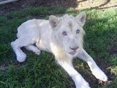 "KWANZA the lion cub is a ""delightful boy"" and an unexpected attack from another lion hasn't changed that, says Darling Downs Zoo owner Steve Robinson."