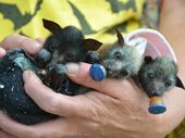 Bat Conservation and Rescue Queensland will have orphaned flying fox pups on hand at their education display at Kearneys Spring Park on Sunday.