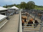 ONE of the biggest cattle sales this year will be held at Sarina saleyards tomorrow when Landmark will offer more than 800 head of cattle.