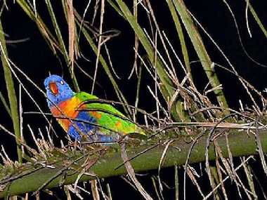 JUST LOOKING FOR A GOOD TIME: Mackay's lorikeets may be pretty to look at but their drunken antics are driving some CBD traders crazy.