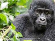 Sunshine Coast video blogger captures video footage of wild gorillas paying a visit to a luxury camp in Uganda. The gorillas followed our group back to camp.