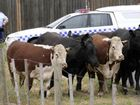 CATTLE were killed and a man injured when a truck crashed near Coonamble in New South Wales last night.