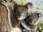 IPSWICH Koala Protection Society has received $14,200 from the State Government to help its koala care work.
