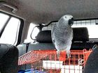 A MOTORIST has had her car seized after being stopped by police in West Yorkshire, who discovered she was a learner driver accompanied only by her pet parrot.