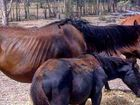 STARVING horses and several carcasses have been discovered on a Greymare property off the Cunningham Highway west of Warwick.