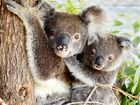 KOALAS in the Ballina Shire are under threat from the proposed Pacific Highway upgrade and environment groups are calling for the route to be changed.