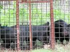 FIVE hundred feral pigs have been culled from around south-east Queensland macadamia nut farms in the past year, but not before eating their way through half a million dollars-worth of produce.