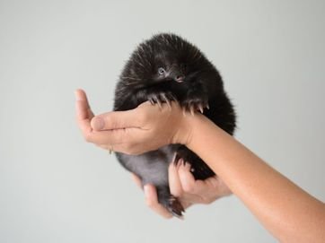 They say beware photographing children and animals and Olaf, as a baby echidna, is both - but he's certainly got plenty of star qualities.