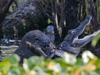 An Otter makes short work of an alligator at Lake Woodruff National Wildlife Refuge.