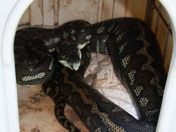 Images from the WIRES Northern Rivers Facebook page of a python that ate a dog at Caniaba.