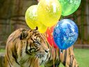 Triplet tigers celebrate 10th birthday