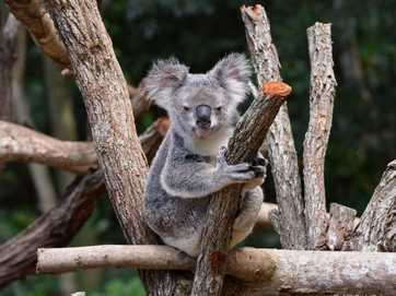 Queensland Zoo at the Big Pineapple opens in time for the school holidays.