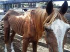 THE animal cruelty investigation is continuing into the treatment of an emaciated horse at the Laidley horse sales.