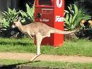 PHOTOGRAPHER Jade-Ellen Leak did a double-take after seeing a family of kangaroos bounding away in suburbia on Buderim.