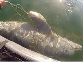 A KAYAKER who witnessed a trapped baby dolphin dying in shark nets off Mooloolaba on Sunday morning has questioned the true value of the nets.