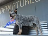 A DEAF Australian blue cattle dog pup is on a $3000 flight to its new owner in America who is hard of hearing and works at a school for the deaf and blind.