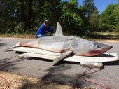 A FLORIDA man has pulled in a 365kg mako shark measuring more than 3.3 metres long in what could be a new world record for land-based shark fishing.