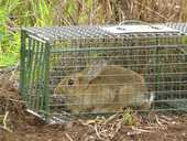 Feral rabbits have been seen in Toowoomba.