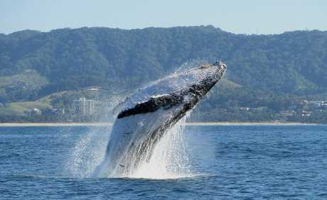 Reports of the earliest whales on the northern migration to warmer waters have been met with warnings to recreational boat owners.