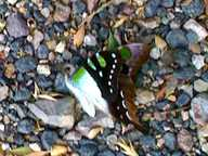 I AM wondering if an anyone can identify this butterfly i found in a Tea tree in Montville?