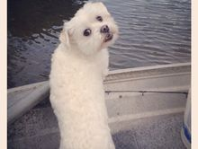 Small white dog lost mooloolaba