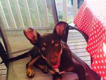 MISSING KELPIE PUP
