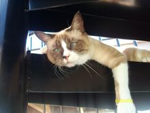 Snowshoe Cat missing in Oakwood Bundaberg 7 March 2014